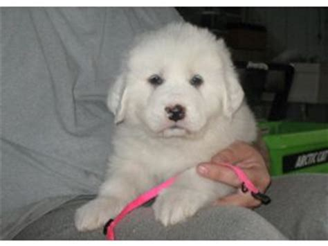 great pyrenees puppies for sale in great pyrenees puppies for sale