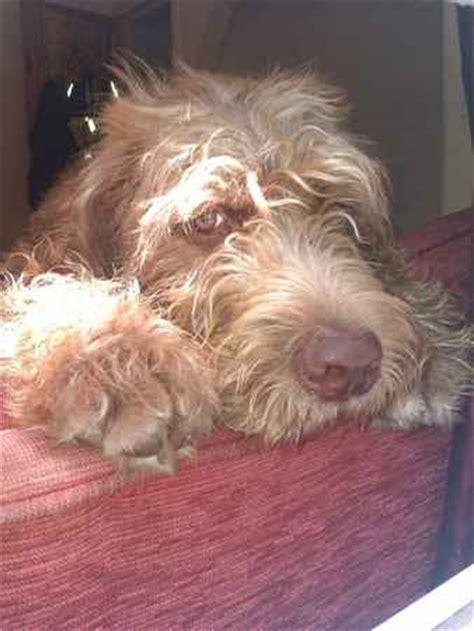 mastidoodle puppies for sale mastiff doodle breeds picture