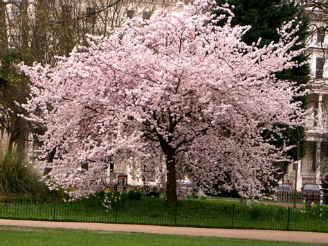 pictures of cherry blossom trees cherry tree pictures