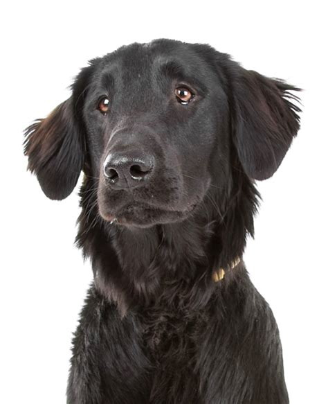 gratis libro e complete flat coated retriever the para descargar ahora flat coated retriever dog breed information noah s dogs