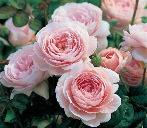 heirloom roses heirloom roses