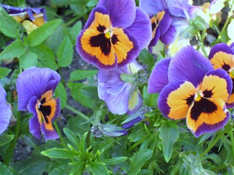 pansy colors 1000 images about pansies winter on