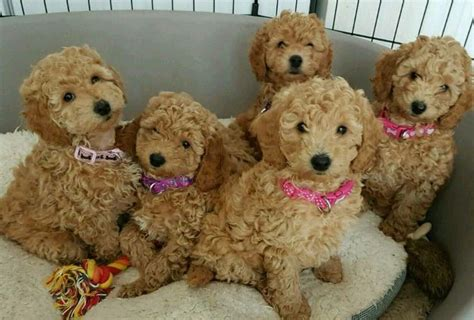 cockapoo puppies for sale in cockapoo puppies for sale in cottingham east gumtree
