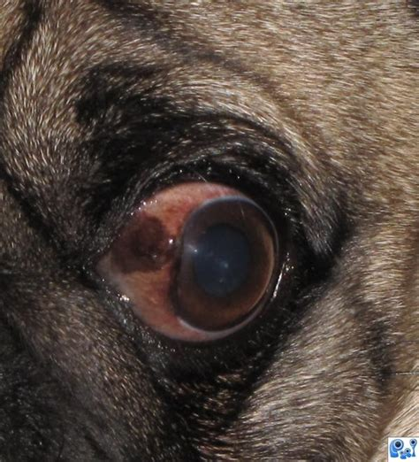 pug eye scratch coby pug picture by dmspaulding07 for eye photography contest pxleyes
