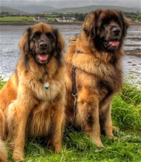 Country Homes Plans Lionscourt Leonbergers Home