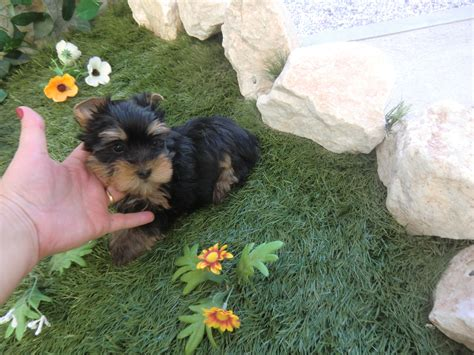 yorkie puppies for sale in scotland fox terrier puppies are for sale in the uk of