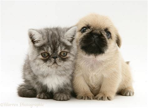 shih tzu or pug pets kitten and pugzu pug x shih tzu pup photo wp22061
