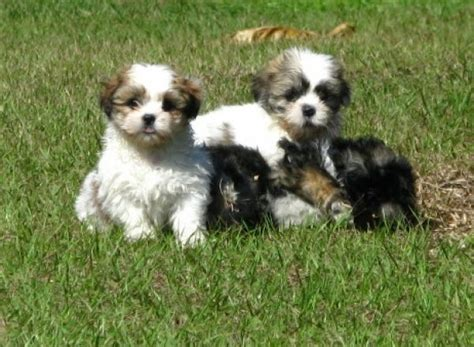 puppies for sale in macon ga amazing brown white lhasa apso puppies for sale in atlanta ga at atlanta columbus