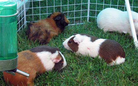 cavie alimentazione la cavia conosciamola meglio animali pucciosi