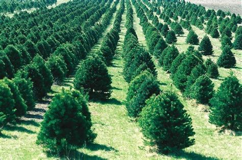 best places to cut your own christmas tree in cincinnati axs