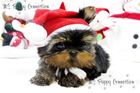 maltese puppies for sale in ms new york teacup puppies for sale micro teacup yorkie