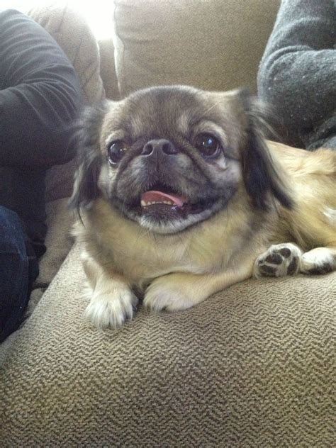 pug diabetes chihuahua large mix breeds picture