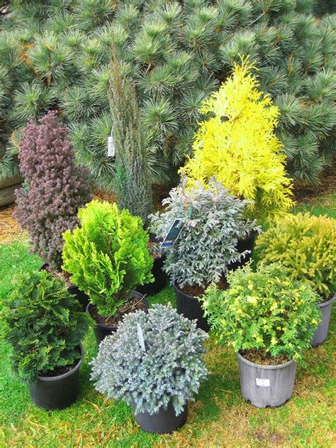 dwarf shrubs evergreen top 10 winter plants to brighten up your balcony winter plants evergreen shrubs and balconies