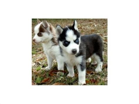 husky puppies for sale las vegas top quality siberian husky puppies for adoption las vegas for sale las vegas pets dogs