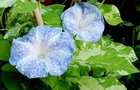 Benih Cabe Cap Bunga Matahari jmg blue speckled purie garden