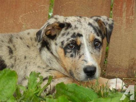 puppies for sale in knoxville catahoula leopard large baby