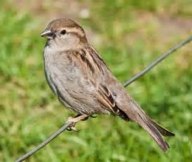 file house sparrow england may 09 jpg