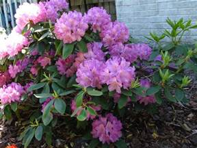 views from the garden growing rhododendron