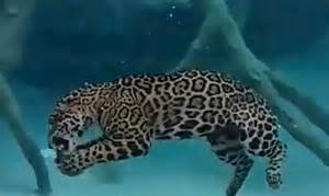 What Are Jaguars Known For Did You That Jaguars Can Feed Completely Underwater