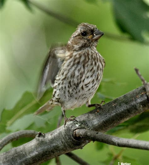 top 28 finches in michigan wild birds unlimited june
