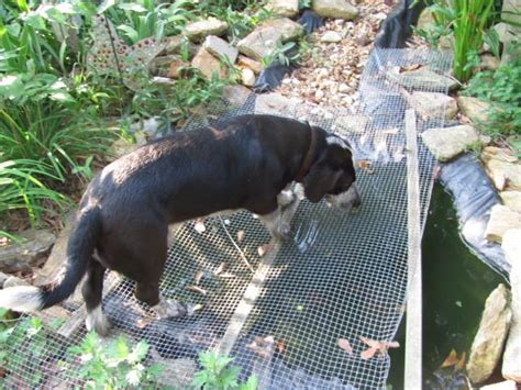 Keeping Dogs Out Of Garden by Keep Dogs Out Of Your Pond Garden Org