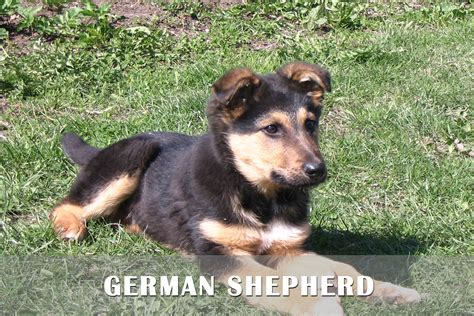 german shepherds for sale german shepherds for sale 10 wide wallpaper
