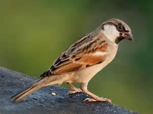 passer domesticus house sparrow fringilla domestica