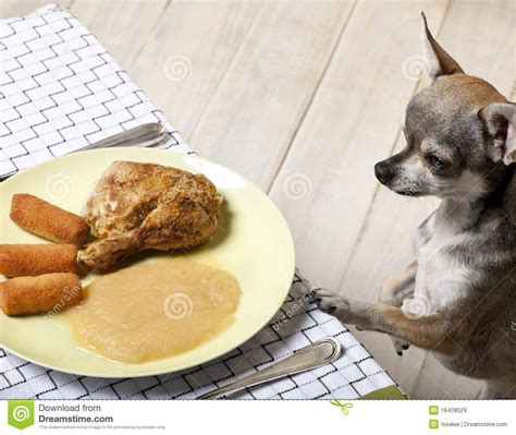 chihuahua food chihuahua looking at food on plate royalty free stock images image 16408529