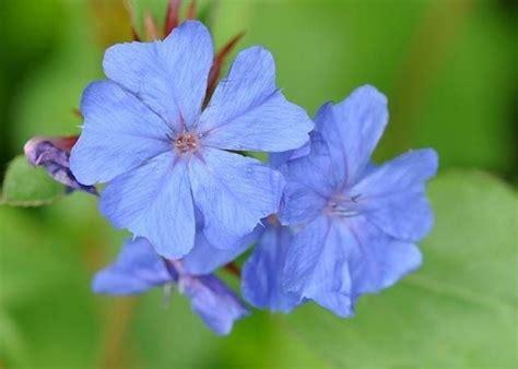 fiori azzurri nomi fiori azzurri fiorista