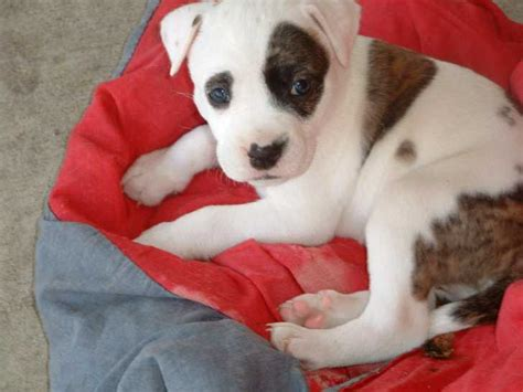 bullboxer pit puppies for sale bull terrier page 2 for sale ads free classifieds