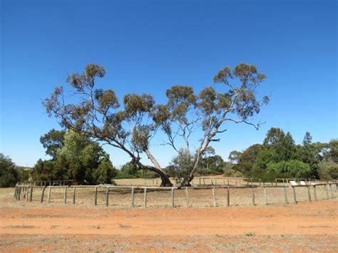 Australian Inland Botanic Gardens Wow Tree 2500 Years Picture Of Australian Inland Botanic Gardens New South Wales