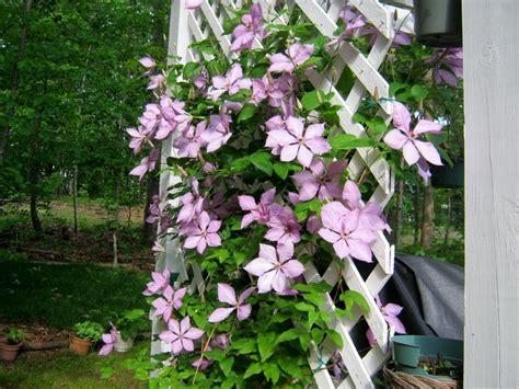 trellis clematis lavender clematis on my deck trellis lakeside deck