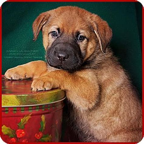 golden retriever rescue cincinnati ohio cincinnati oh german shepherd golden retriever mix meet whitworth a puppy for