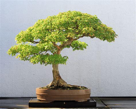 bonsai da giardino everflor italia mostra mercato fiori e piante da