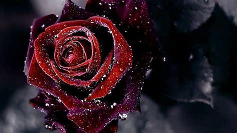 wallpaper black rose hd wallpapers of black roses wallpaper cave