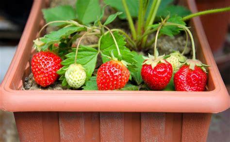 Bibit Tanaman Pohon Buah Strawberry 1 jenis tanaman buah yang bisa ditanam dalam pot
