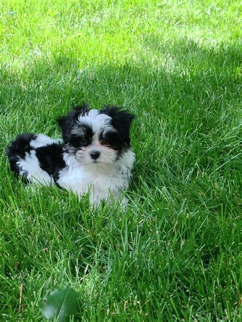 havanese merchandise 17 best images about havanese i will another on puppys bar and search