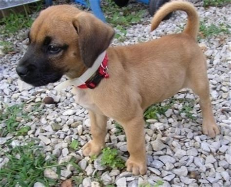 boxer golden retriever mix golden boxer breed information and pictures