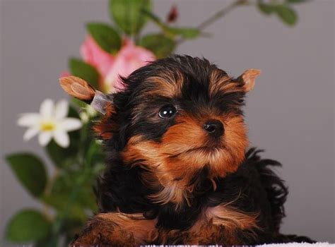 black teacup yorkie 17 best images about teacup yorkie terrier on yorkie puppies for sale