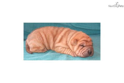 shar pei puppies babies available shar pei puppy for sale near knoxville tennessee 02e37d18 fc61
