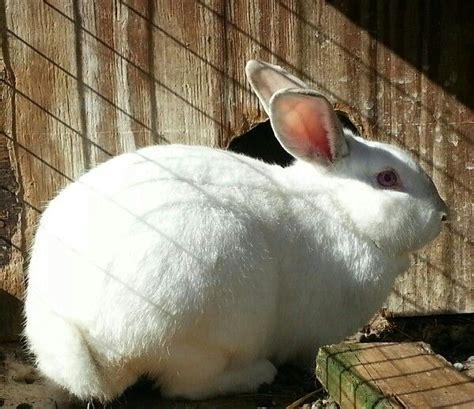 Gantungan Bunny Kopenhagen Bunny 1 white new zealand rabbit bunny rabbits rabbit and bunny bunny