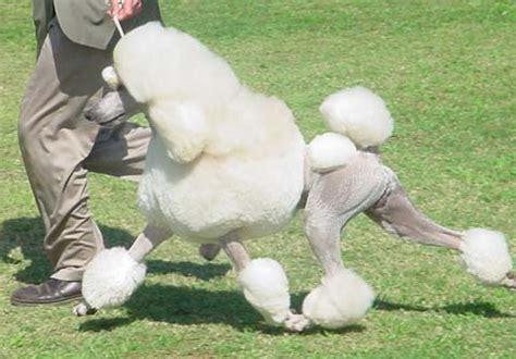 adoption san jose standard poodle rescue san jose ca dogs our friends photo