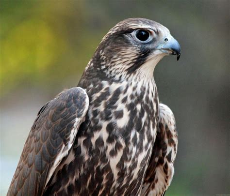 what is a bird national bird of mongolia saker falcon 123countries