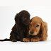 doodle dice uk dogs daxiedoodle and golden cocker spaniel puppies