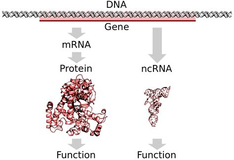 4 proteins in dna file dna to protein or ncrna svg