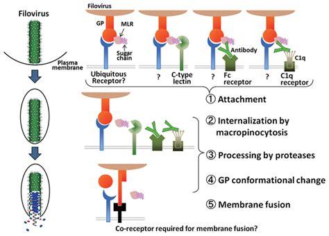 pattern recognition receptors wikipedia uutta viruksista pamp patogeenin tunnistusj 228 rjestelm 228 ja