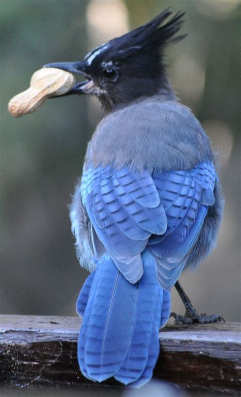 stellar s jay bleu blue pinterest