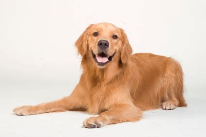 characteristics of golden retriever golden retriever temperament personality