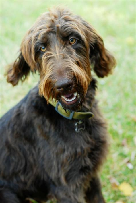 gordon setter doodle double doodle ocd dogs mixed breeds pinterest doodles