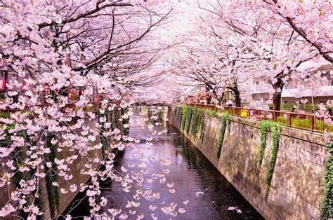 fiore di ciliegio giapponese la fioritura dei ciliegi in giappone previsioni e